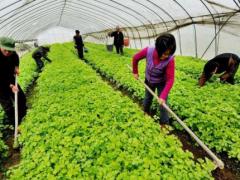 秋季大棚蔬菜高产种植有技巧,棚内5条管理事项要抓好